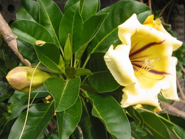 Name:  Solandra maxima.jpg Views: 6919 Size:  44.2 KB