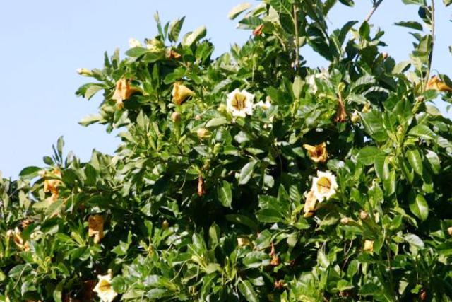 Name:  solandra-grandiflora.jpg Views: 5673 Size:  66.9 KB