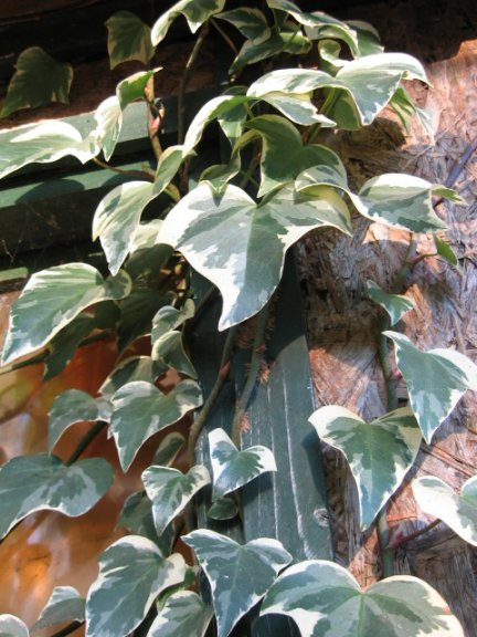 Name:  Hedera canariensis 004.jpg