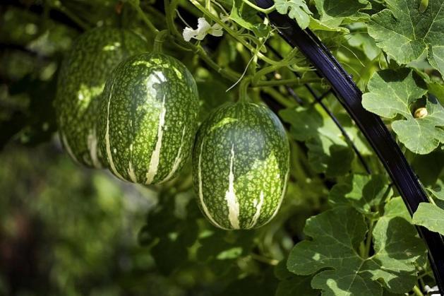 Name:  malabar-gourd.jpg Views: 1849 Size:  47.9 KB
