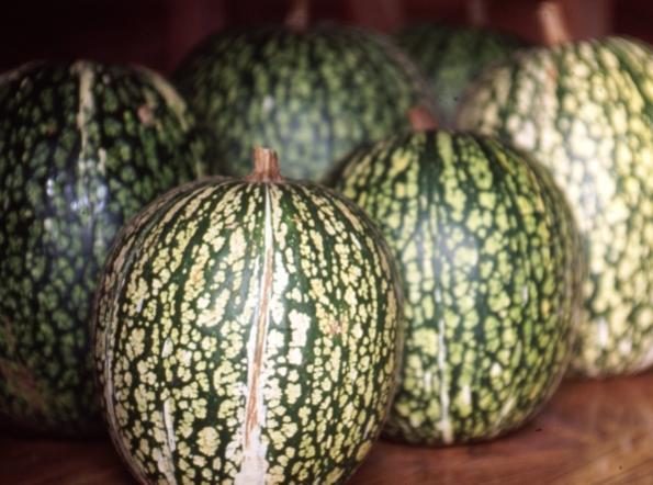 Name:  fig-leaf-gourd.jpg Views: 1094 Size:  46.5 KB