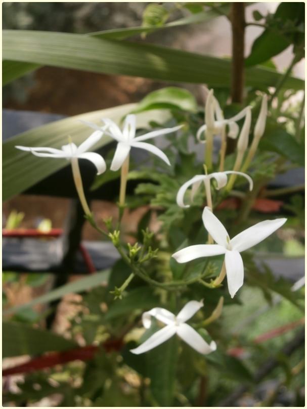 Name:  Jasminum azoricum, Jasminum suaveolens, Jasminum trifoliatum - çiçek.jpg Views: 1050 Size:  51.0 KB