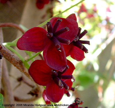 Name:  akebia_quinata_flower.jpg