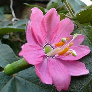 Name:  Passiflora-Mollissima-Cicekli-Kokulu-Meyveli-301__17536086_0.jpg Views: 5224 Size:  16.8 KB