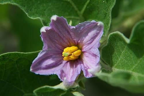 Name:  800px-EggplantFlower.jpg Views: 26607 Size:  40.2 KB