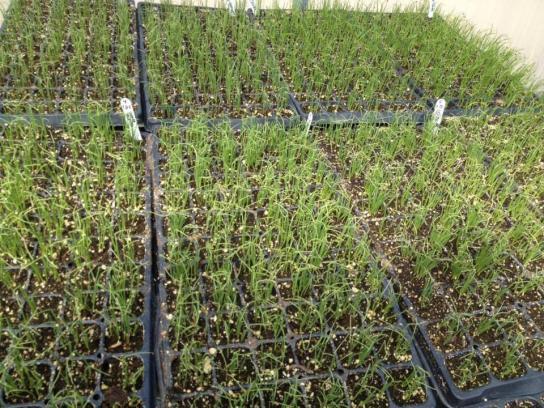 Name:  Onions 1 Ready for Transplanting 24.03.2014.jpg Views: 17494 Size:  73.0 KB