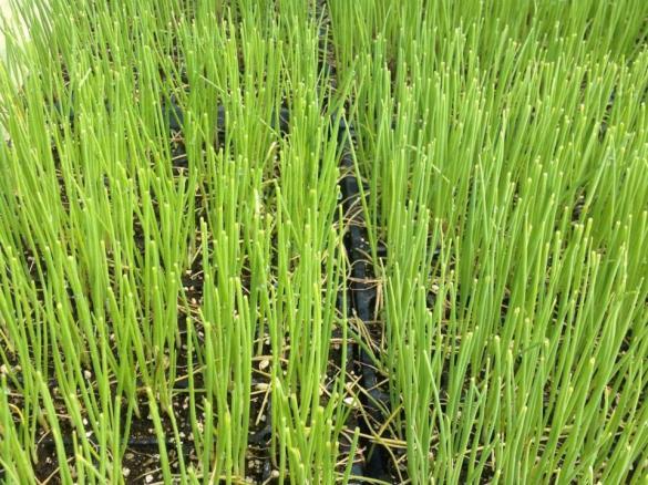 Name:  Onions 3 Ready for Transplanting 15.04.2014.jpg Views: 17818 Size:  73.2 KB