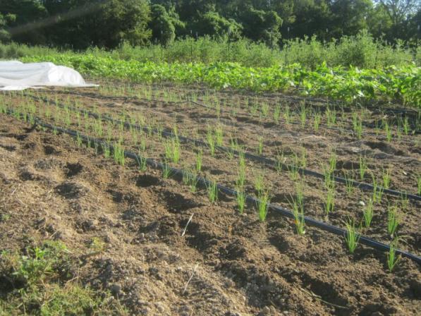 Name:  Onions 08 Transplanting 14.04.2014.jpg Views: 17059 Size:  71.1 KB