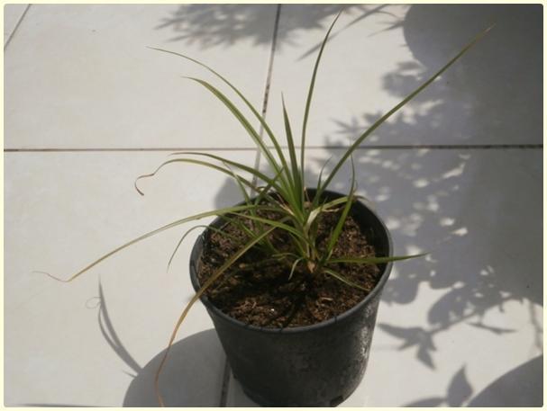 Name:  Yer Bademi 'chufa' (Cyperus esculentus).jpg Views: 4315 Size:  27.8 KB