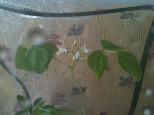 Name:  sera fasulye ve çiçekleri.jpg Views: 2061 Size:  28.5 KB