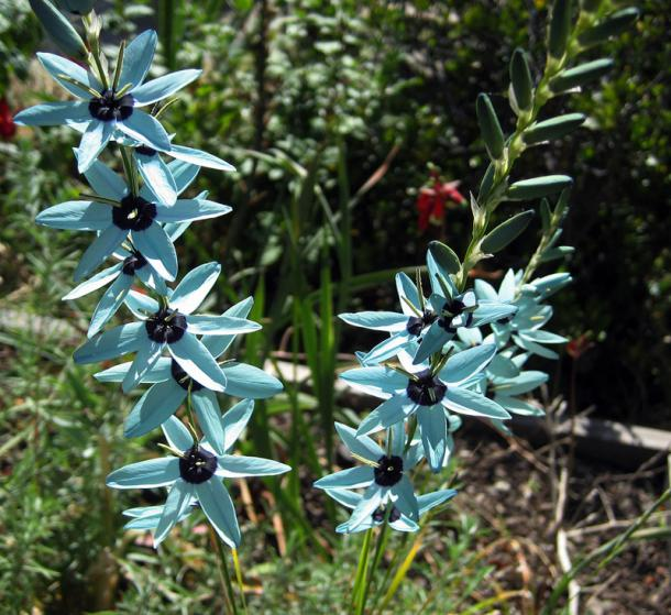 Name:  ixia_viridiflora.jpg
