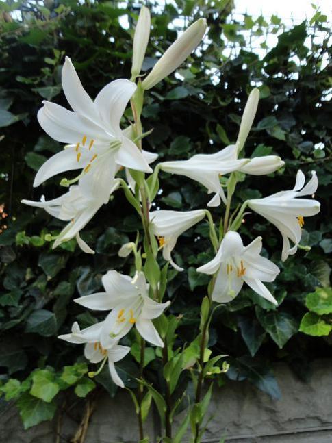 Name:  Lilium candidum.jpg Views: 1028 Size:  56.6 KB