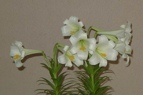 Name:  Lilium_longiflorum_dw.jpg