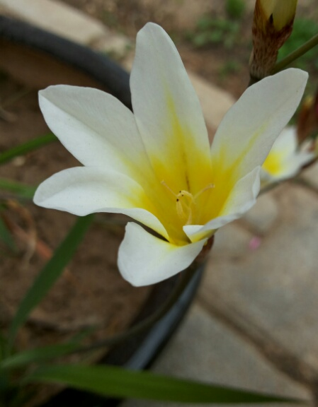 Name:  Sparaxis flower.jpg Views: 1335 Size:  55.2 KB