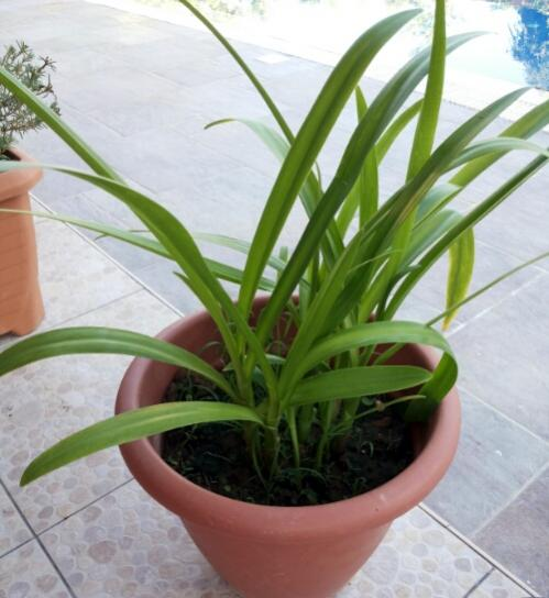 Name:  Spider lily.jpg Views: 218 Size:  39.0 KB