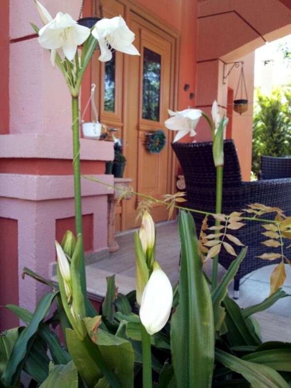 Name:  Crinum lily 2014.jpg Views: 904 Size:  61.6 KB