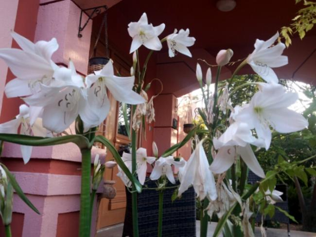 Name:  Giant lily - Crinum.jpg