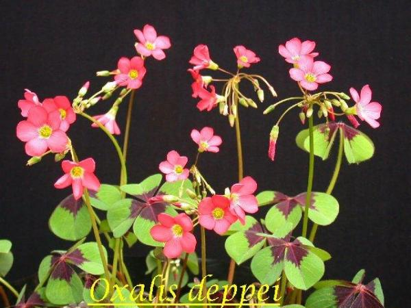 Name:  Oxalis_deppei_syn_tetraphylla (Small).jpg