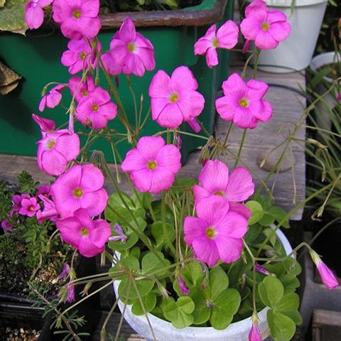 Name:  Oxalis_bowiei2 (Small).jpg