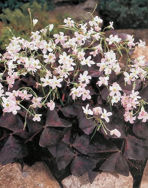 Name:  OXALIS%20TRIANGULARIS.jpg