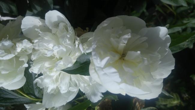 Name:  white paeonia beyaz şakayık 1.jpg Views: 637 Size:  26.1 KB