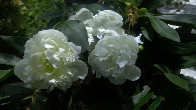 Name:  white paeonia beyaz şakayık 2.jpg Views: 617 Size:  29.1 KB