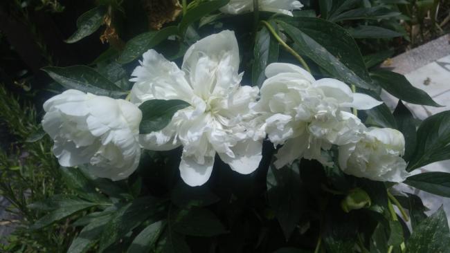 Name:  white paeonia beyaz şakayık.jpg Views: 624 Size:  32.4 KB