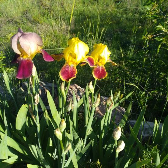 Name:  iris süsen indian cef .jpg Views: 135 Size:  74.8 KB