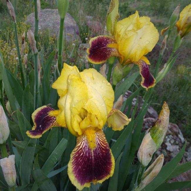 Name:  iris süsen bordo sarı .jpg Views: 137 Size:  63.4 KB