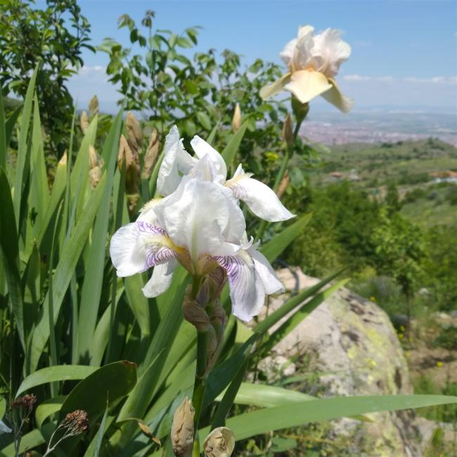 Name:  iris süsen beyaz mor çizgili 1. .jpg Views: 138 Size:  65.4 KB