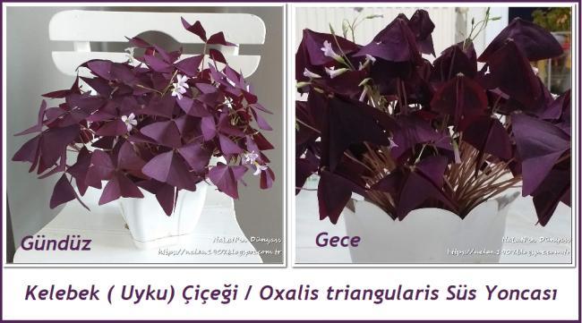 Name:  Oxalis triangularis Süs yoncası.jpg Views: 149 Size:  45.3 KB