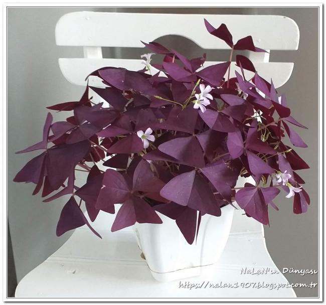 Name:  kelebek-cicegi-Oxalis-triangularis (1).jpg Views: 169 Size:  53.2 KB