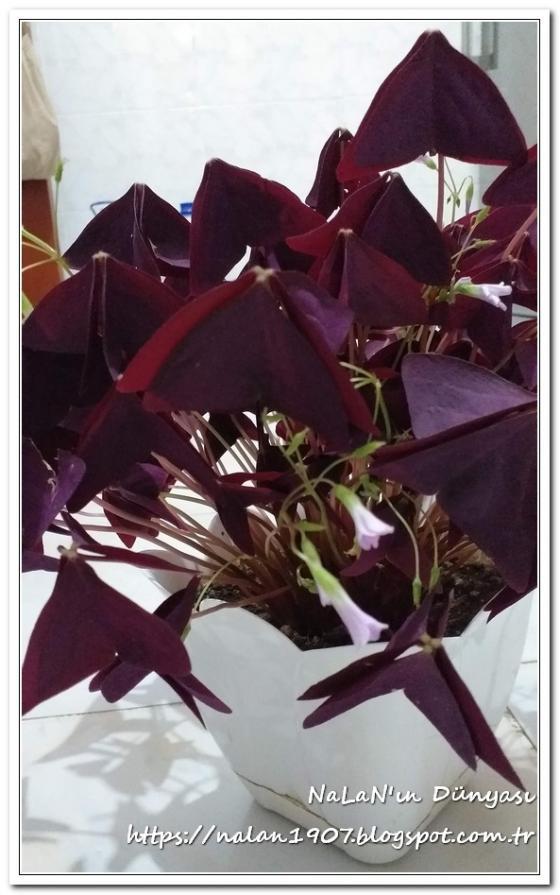 Name:  kelebek-cicegi-Oxalis-triangularis (8).jpg Views: 156 Size:  66.1 KB