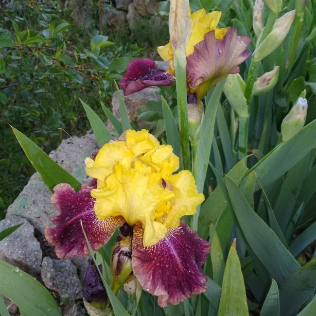 Name:  iris süsen amaryalisbahçesi.com 1.jpg Views: 105 Size:  70.1 KB