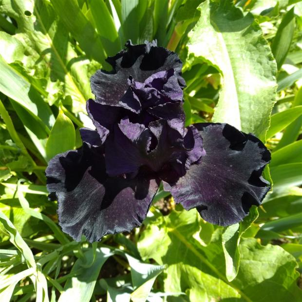 Name:  iris süsen black.jpg Views: 102 Size:  71.4 KB