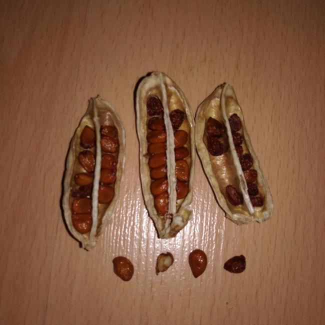 Name:  iris seeds 1.jpg Views: 38 Size:  44.5 KB