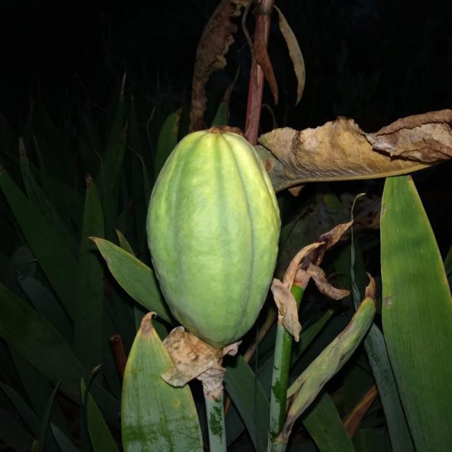 Name:  iris seeds.jpg Views: 38 Size:  42.3 KB