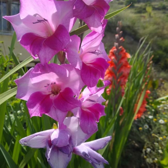 Name:  Glayöl, Kılıç Çiçeği (Gladiolus 2.jpg Views: 314 Size:  57.0 KB