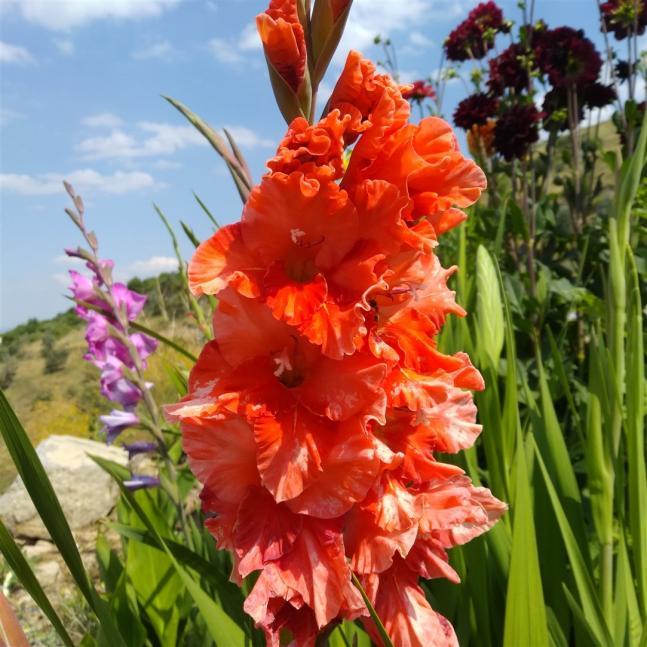 Name:  Glayöl, Kılıç Çiçeği (Gladiolus 3.jpg Views: 332 Size:  69.9 KB