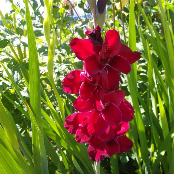 Name:  Glayöl, Kılıç Çiçeği (Gladiolus 14.jpg Views: 351 Size:  72.3 KB