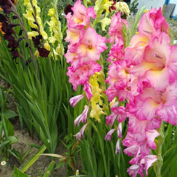 Name:  Glayöl, Kılıç Çiçeği (Gladiolus 4.jpg Views: 320 Size:  73.4 KB