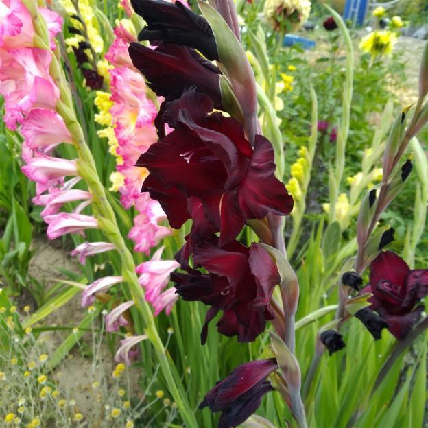 Name:  Glayöl, Kılıç Çiçeği (Gladiolus 5.jpg Views: 317 Size:  70.7 KB