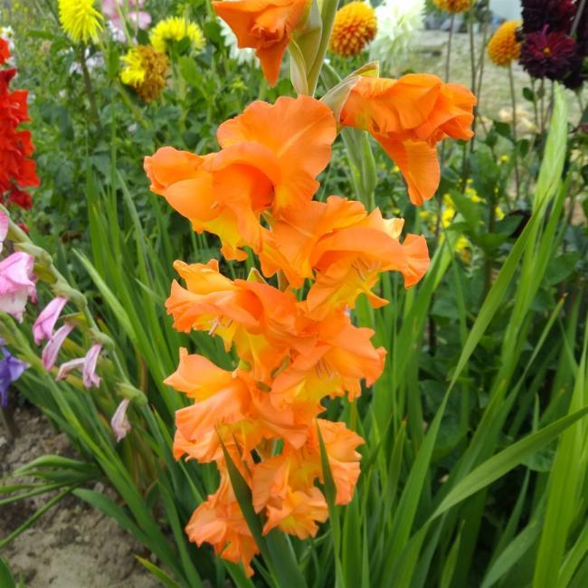 Name:  Glayöl, Kılıç Çiçeği (Gladiolus 6.jpg Views: 327 Size:  69.1 KB