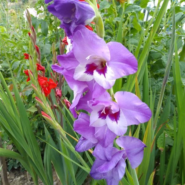 Name:  Glayöl, Kılıç Çiçeği (Gladiolus 7.jpg Views: 317 Size:  71.9 KB