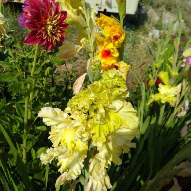 Name:  Glayöl, Kılıç Çiçeği (Gladiolus 9.jpg Views: 315 Size:  71.2 KB