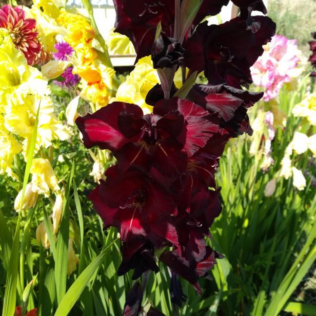 Name:  Glayöl, Kılıç Çiçeği (Gladiolus 10.jpg Views: 320 Size:  71.8 KB