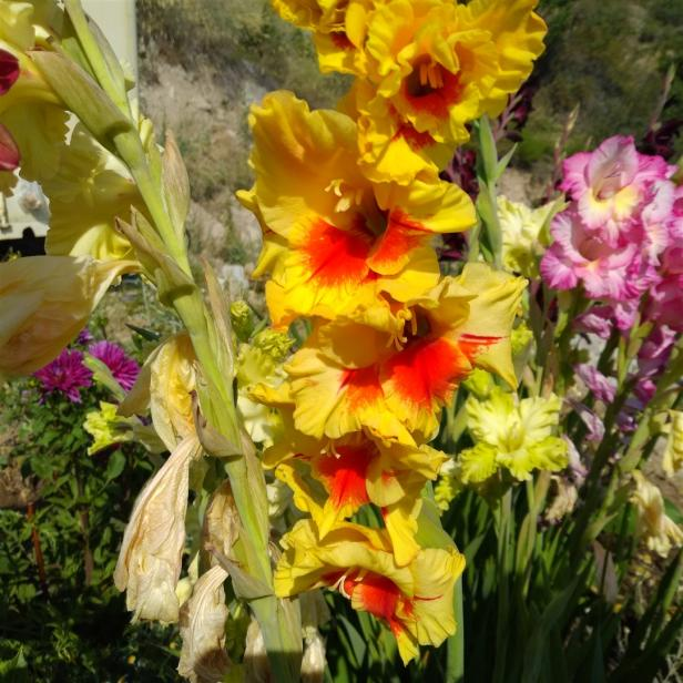 Name:  Glayöl, Kılıç Çiçeği (Gladiolus 11.jpg Views: 333 Size:  71.5 KB