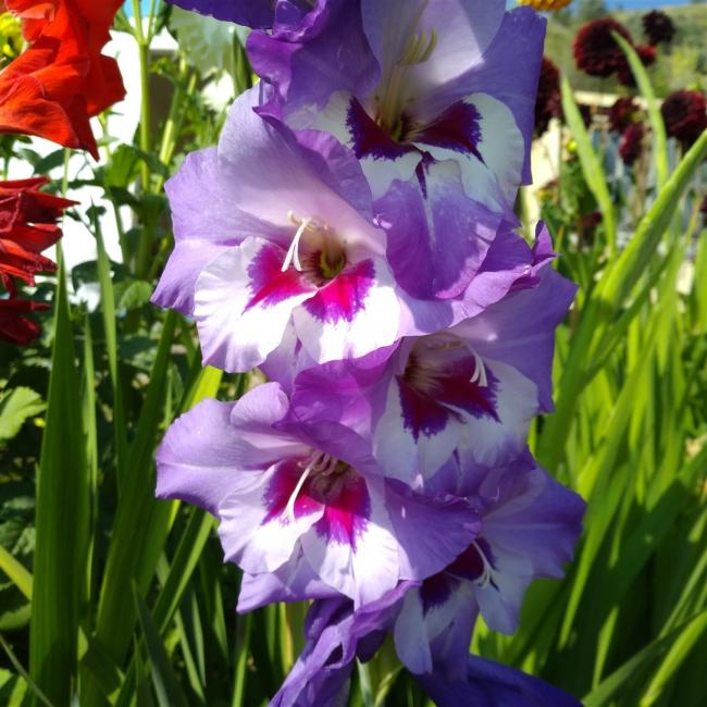 Name:  Glayöl, Kılıç Çiçeği (Gladiolus12.jpg Views: 308 Size:  65.3 KB