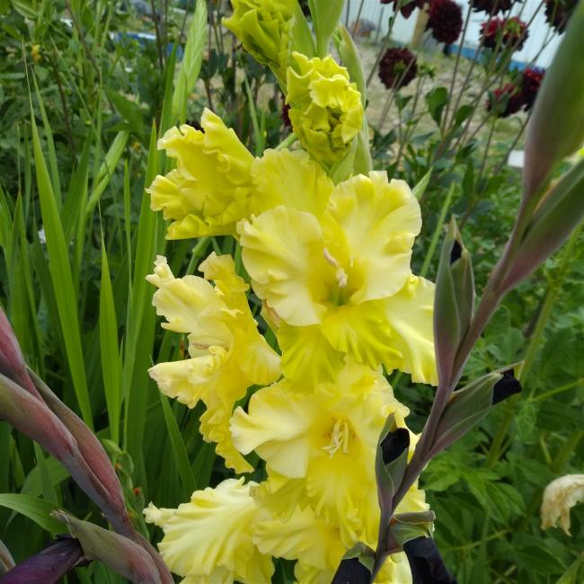 Name:  Glayöl, Kılıç Çiçeği (Gladiolus sarı.jpg Views: 325 Size:  66.4 KB