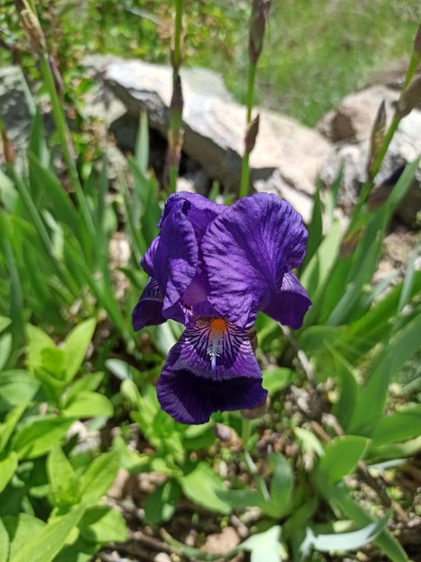 Name:  yabani iris.jpg Views: 102 Size:  72.6 KB